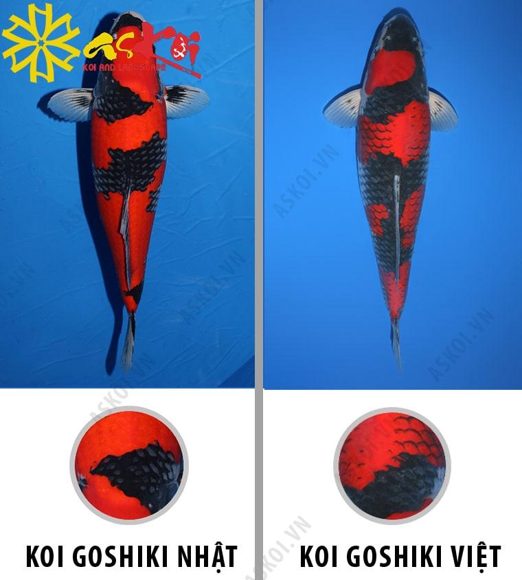 Phân biệt cá Koi Goshiki Nhật Bản và Goshiki Việt