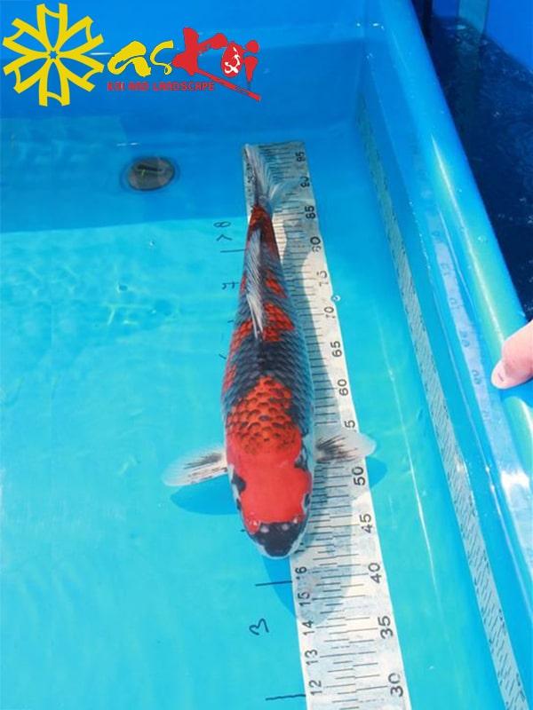 Goshiki size 15 - 65cm 2