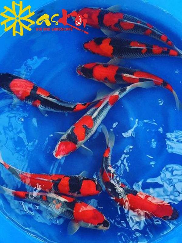 Goshiki size 15 - 65cm 1