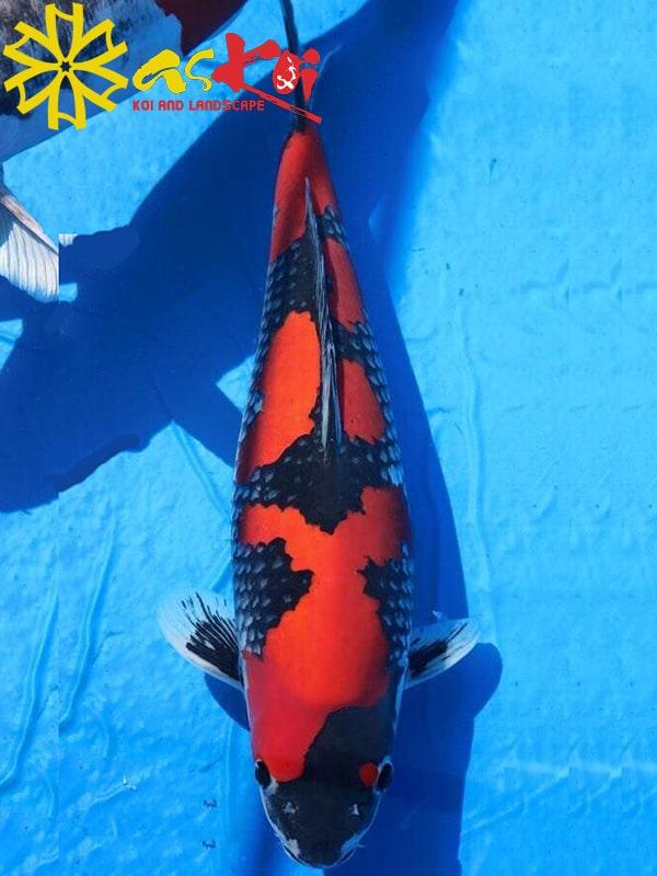 Goshiki size 15 - 65cm 3