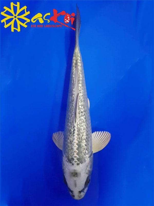 Mukashi size 15 - 65 cm 4
