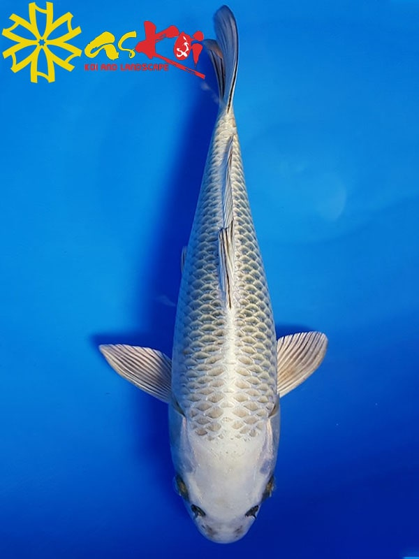 Mukashi Size 15 – 65 Cm