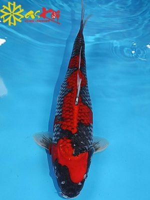 Cá Koi F1 Goshiki