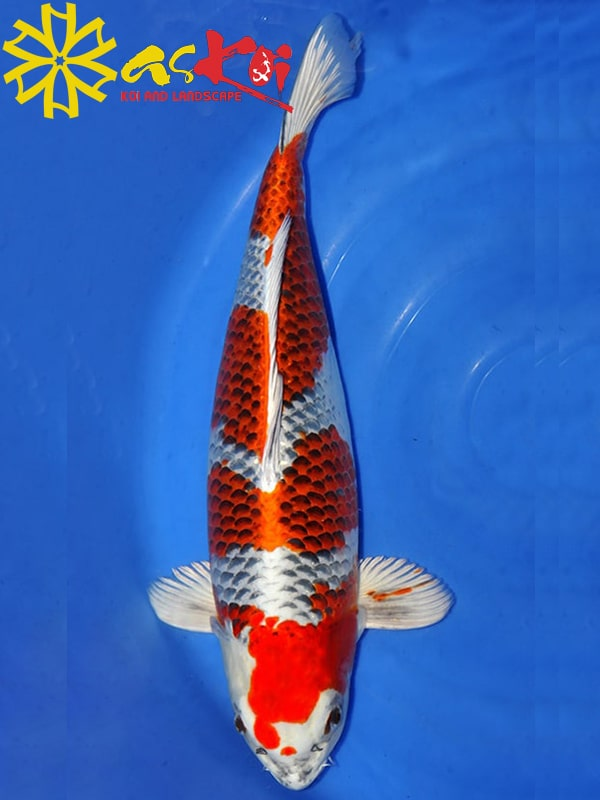 Kujaku Size 15 – 65 Cm