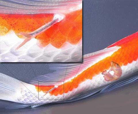 Cách trùng mỏ neo gây bệnh