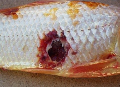 Bệnh loét ở cá koi
