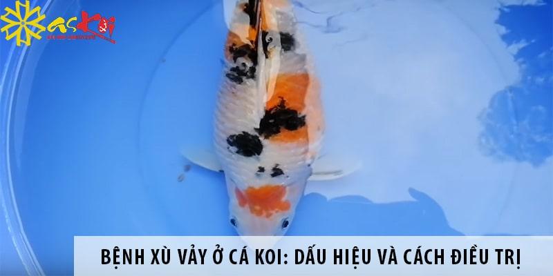 Bệnh Xù Vảy ở Cá Koi: Dấu Hiệu, Nguyên Nhân, Cách điều Trị