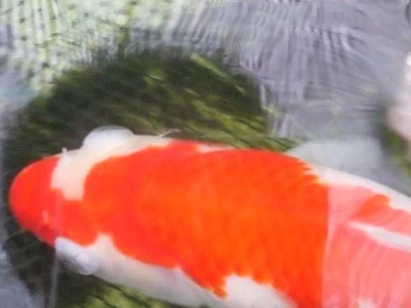 Triệu chứng khi cá koi bị bệnh lồi mắt