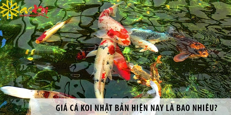 Giá Cá Koi Nhật Bản Hiện Nay Là Bao Nhiêu? Nên Mua ở đâu?