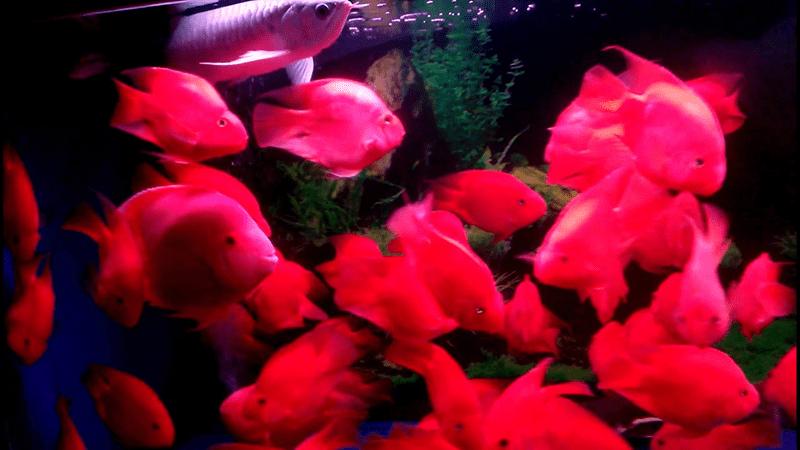 Người mệnh Hỏa nên nuôi loài cá huyết anh vũ