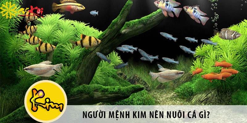 Người Mệnh Kim Nên Nuôi Cá Gì? Nuôi Cá Có Tốt Không?