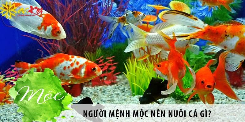 Người Mệnh Mộc Nên Nuôi Cá Gì? Nuôi Cá Có Tốt Không?