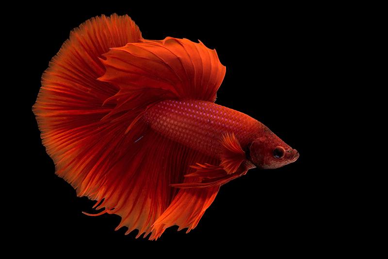 Cá beta là loại cá chọi thích hợp cho những người mệnh Thổ