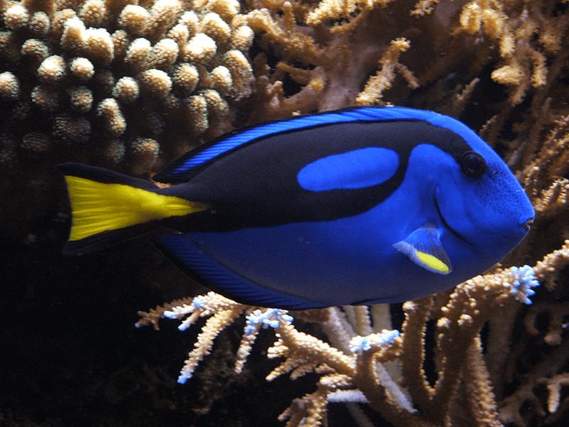 Cá đuôi gai xanh dương