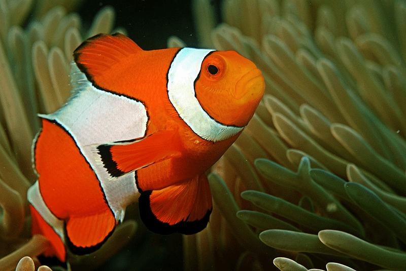 Cá hề màu trắng pha cam rất bắt mắt