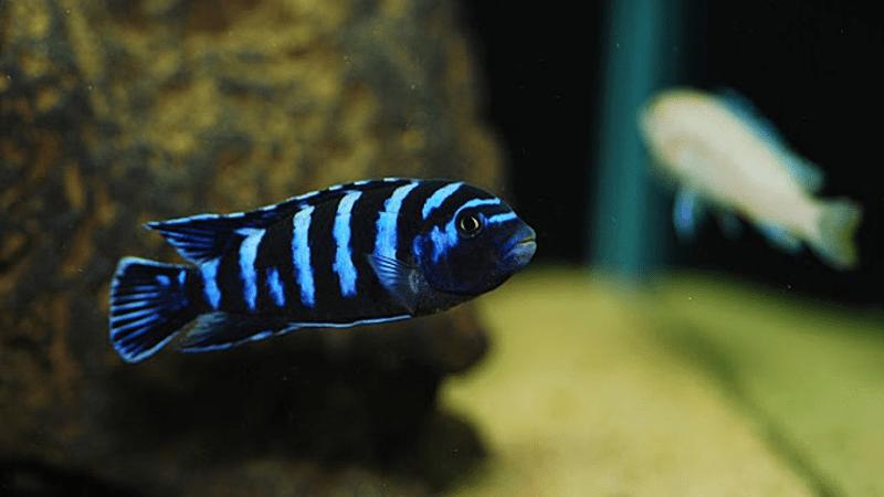 Cá Ali xanh đen