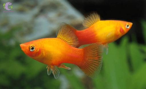 Cá mún uyên ương