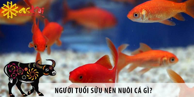 Người Tuổi Sửu Nên Nuôi Cá Gì? Hướng đặt Bể Cá Hợp Phong Thủy