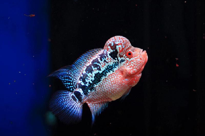 Cá La Hán được coi là biểu tượng may mắn với hầu hết các mệnh