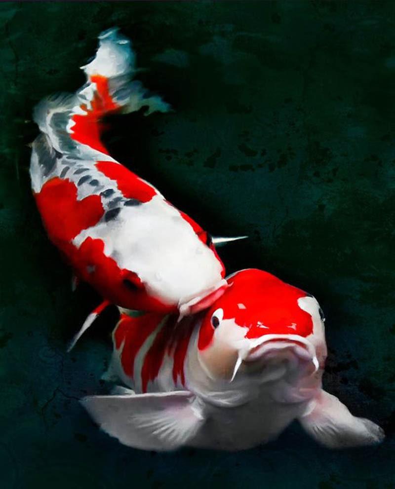 Cá chép koi là loại cá phong thủy hợp với đa số mọi người