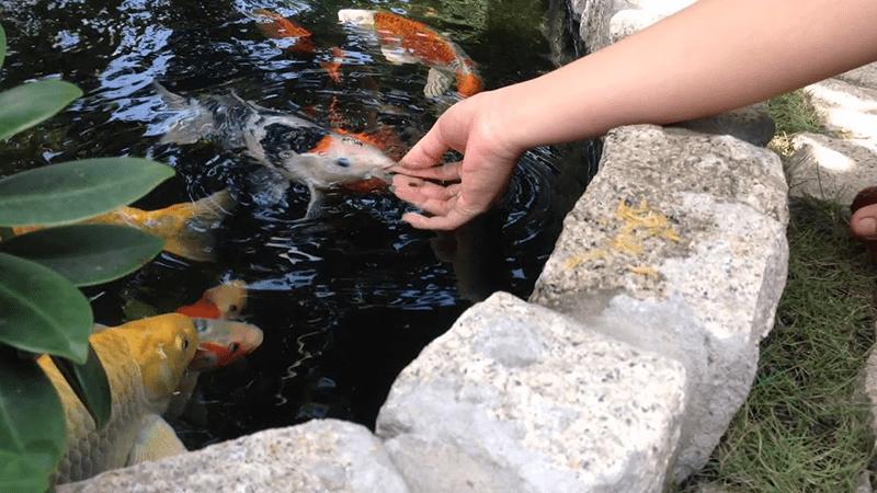 Cách tập cho cá ăn bằng tay