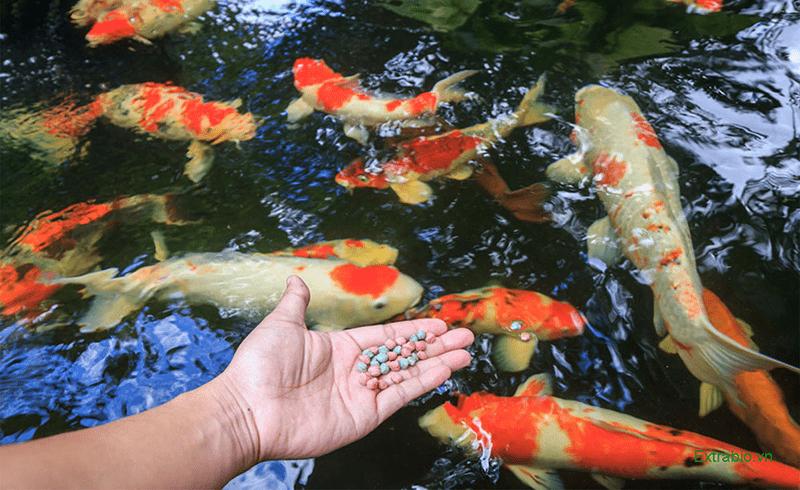 Thức ăn nuôi cá koi cần lựa chọn loại phù hợp