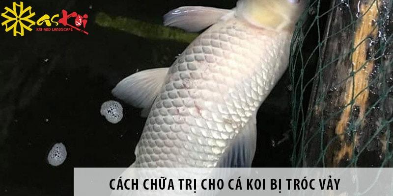 Cách Chữa Trị Cho Cá Koi Bị Tróc Vảy Chỉ Trong 3 Ngày