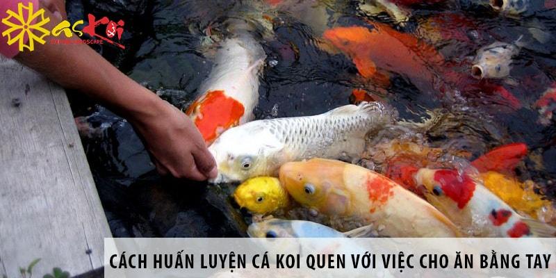 Cách Huấn Luyện Cá Koi Quen Với Việc Cho ăn Bằng Tay