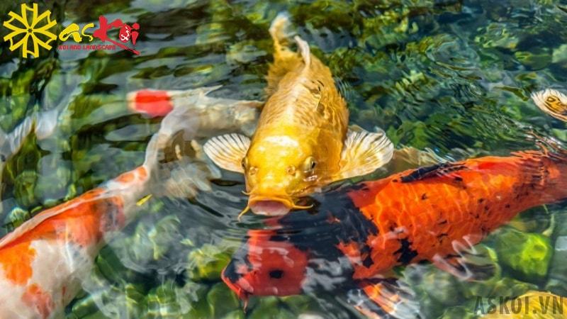 Bản tính cá Koi hiền lành nhưng rất đề phòng nguy hiểm