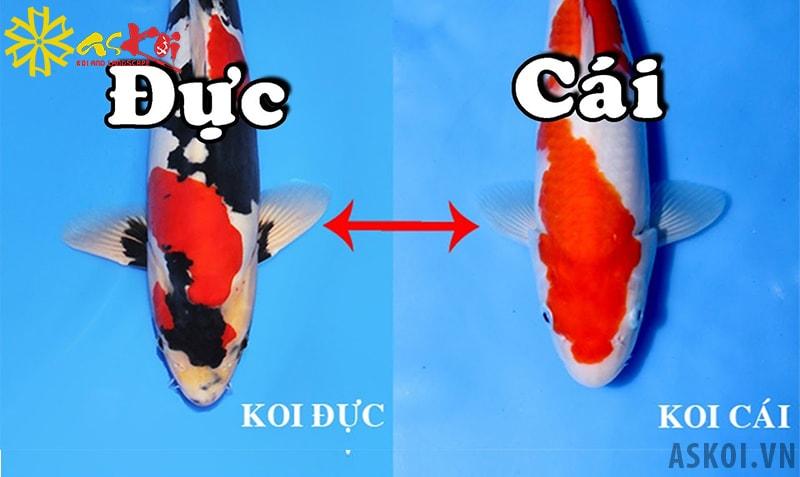 Phân biệt hình dáng cá Koi đực và Koi cái