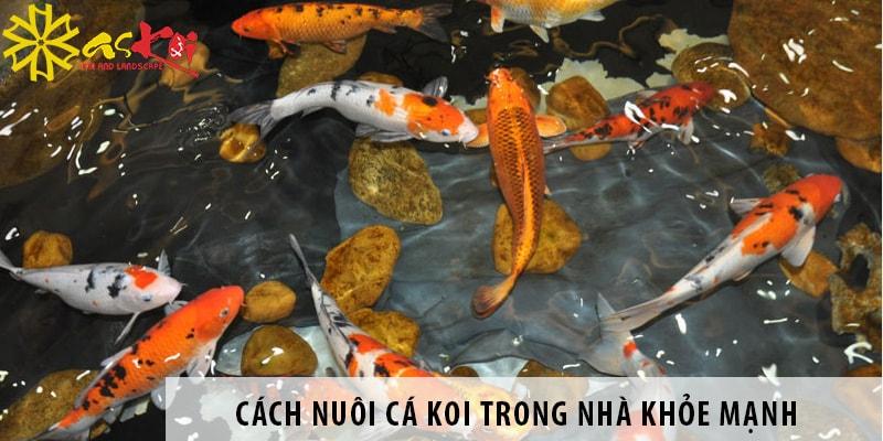 Cách Nuôi Cá Koi Trong Nhà Khỏe Mạnh