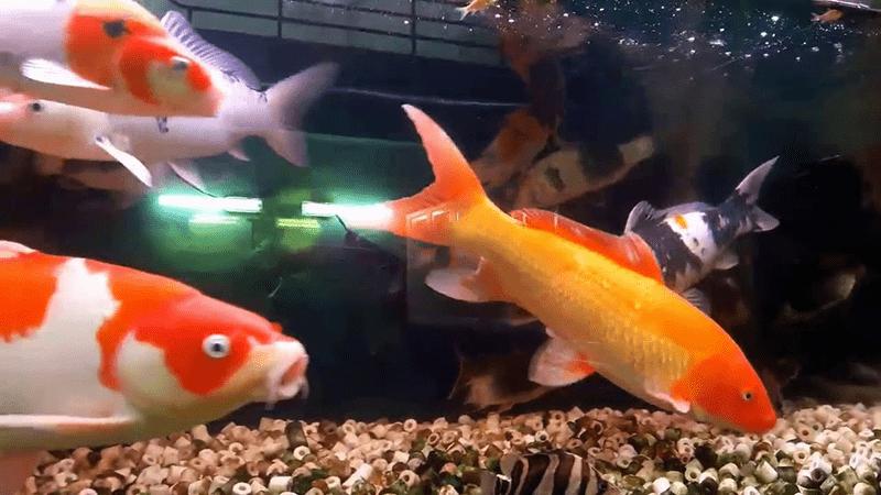 Bạn nên chọn giống cá tốt, khỏe mạnh