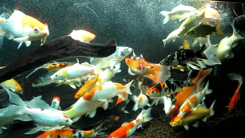 Cho cá ăn đúng cách giúp cá phát triển tốt