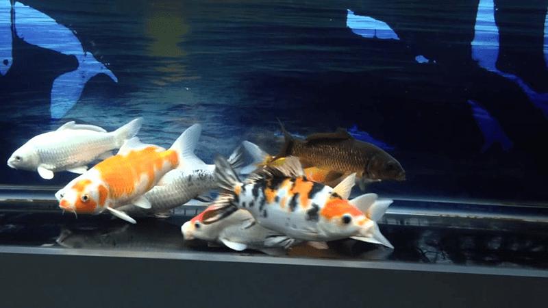 Nếu chăm sóc không cẩn thận, cá dễ bị bệnh, ốm yếu