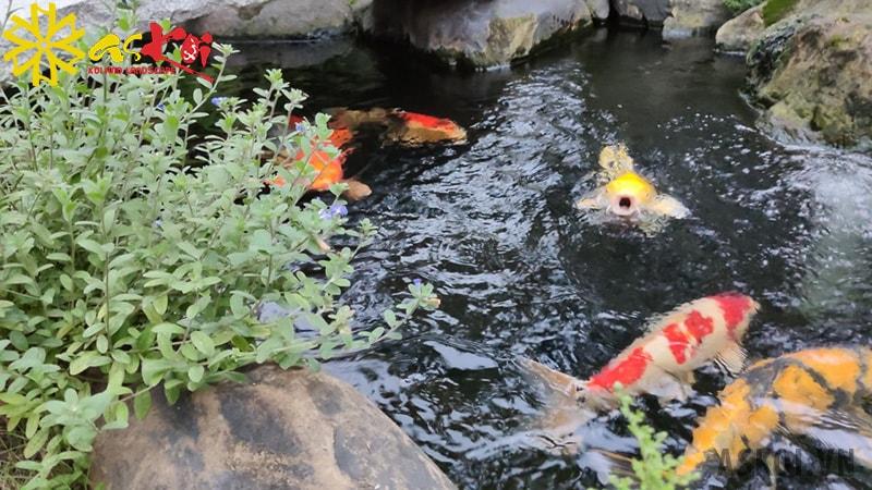 Hãy đảm bảo hòa tan hoàn toàn muối để cá không bị bỏng