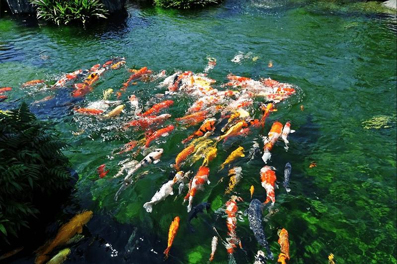 Hồ cá Koi phải đảm bảo đủ các điều kiện môi trường thuận lợi để cá Koi sinh trưởng và phát triển khỏe mạnh