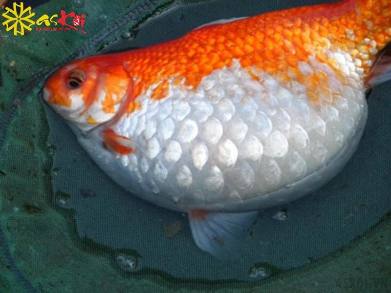Cá Koi bị phình bụng có phần bụng căng tròn như quả bóng