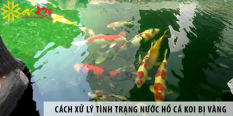 Cách Xử Lý Tình Trạng Nước Hồ Cá Koi Bị Vàng Ngay Khi Phát Hiện