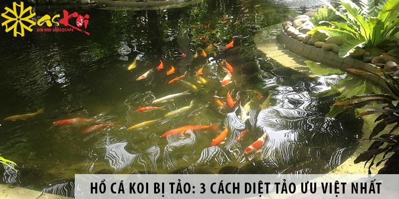 Hồ Cá Koi Bị Tảo: 3 Cách Diệt Tảo ưu Việt Nhất