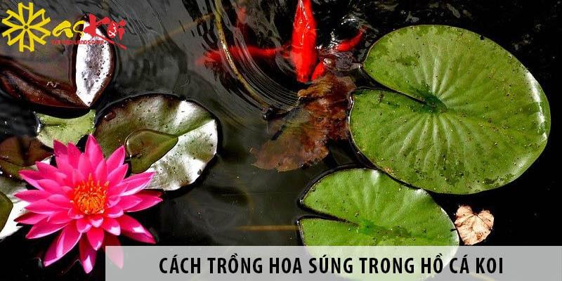 Cách Trồng Hoa Súng Trong Hồ Cá Koi