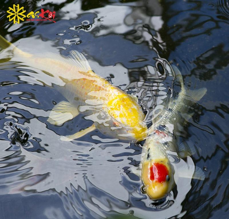 Trong hồ koi luôn cần một chú cá koi dẫn đàn