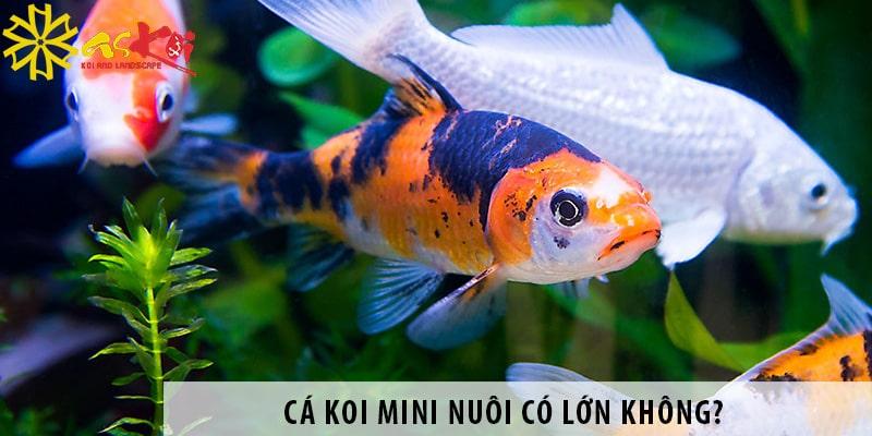 Cá Koi Mini Nuôi Có Lớn Không?