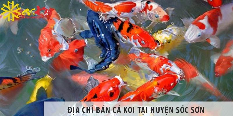 Địa Chỉ Bán Cá Koi Nhật, Việt đẹp, Giá Rẻ Tại Huyện Sóc Sơn