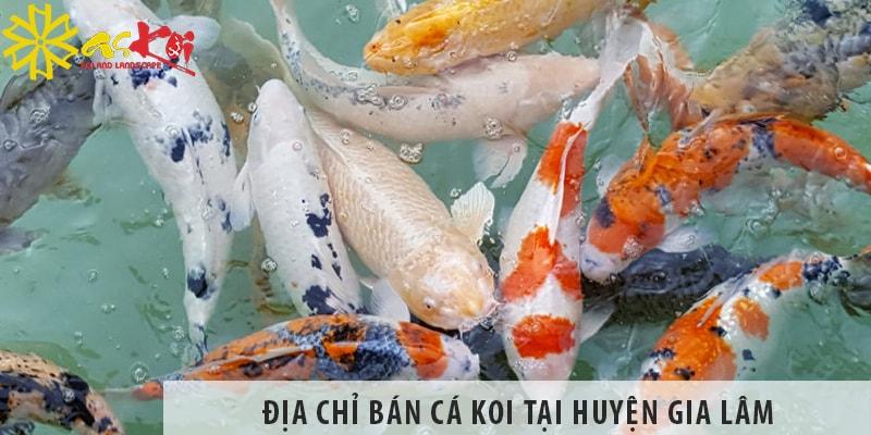 Địa Chỉ Bán Cá Koi Nhật, Việt đẹp, Giá Rẻ Tại Huyện Gia Lâm