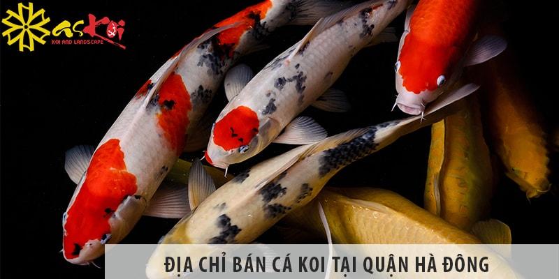 Địa Chỉ Bán Cá Koi Nhật, Koi Việt đẹp, Giá Rẻ Tại Quận Hà Đông