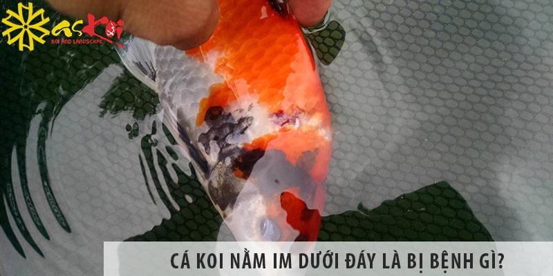 Cá Koi Nằm Im Dưới đáy Là Bị Bệnh Gì? - Cách Khắc Phục