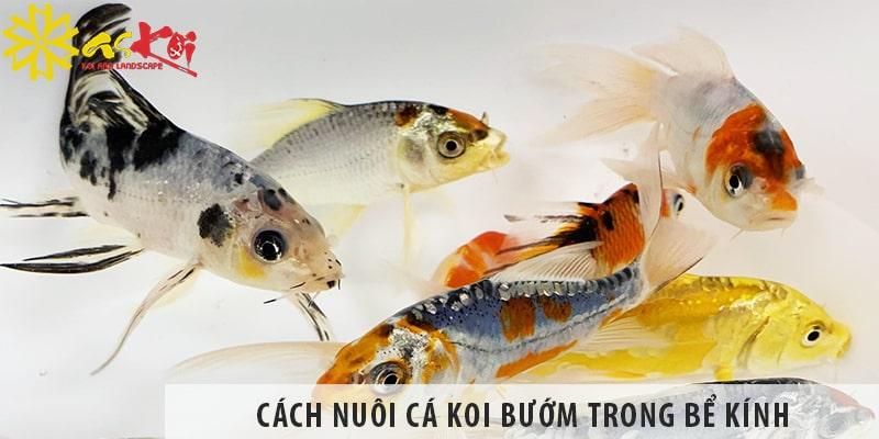 Cách Nuôi Cá Koi Bướm Trong Bể Kính Chuẩn Nhất