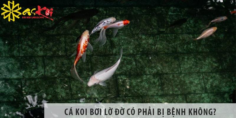 Cá Koi Bơi Lờ đờ Có Phải Bị Bệnh Không? Xử Lý Như Thế Nào?