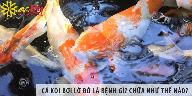 Cá Koi Bơi Lờ đờ Là Bệnh Gì? Chữa Như Thế Nào?