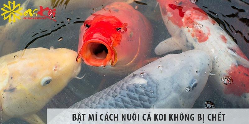 Bật Mí Cách nuôi cá koi không bị chết